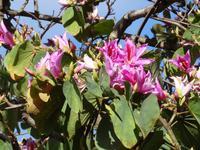 Botanischer Garten von Funchal - Orchideenbaum