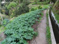 Levada Wanderung - Kartoffelanbau