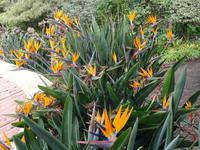 Botanischer Garten von Funchal -Strelizien
