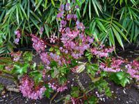 Funchal - Botanischer Garten, Begonien