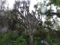 Funchal - Botanischer Garten, Drachenbaum