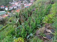 Levada Wanderung, bewirtschafte Terrasse