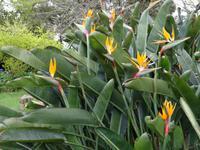 Quinta do Palheiro (Blandys Garten) in Funchal, Strelizien