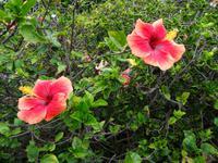 Quinta Boa Vista - Orchideengarten, Hibiskus