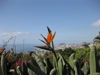 Strelicie im Botanischen Garten von Funchal
