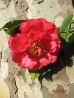 IMG_3005 Blütenpracht in der Quinta Palheiro