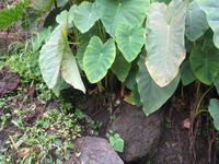 Yamspflanze