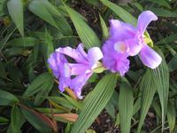 Bambus-Orchidee