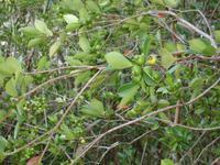 auf der Levada-Wanderung von Marocos - Guave