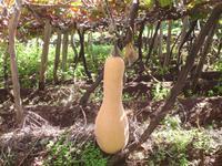 Riesenkürbis im Weingarten