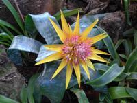 Madeira, Funchal, Orchideen- Fundation, Bromelie
