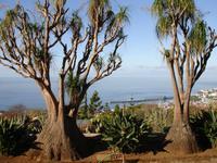 Im Botanischen Garten von Funchal - Elefantenfuss