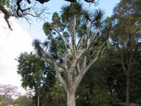 Drachenbaum -Dracaena draco