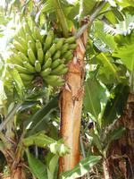 Überall gab es Bananenpflanzen