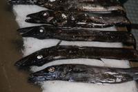 der schwarze Degenfisch-Espada