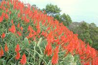 wunderschöne Aloen in voller Blüte