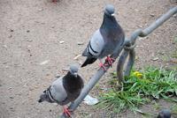 Tauben im
