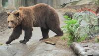 Björn = Europäischer Braunbär im Skansen