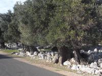 Olivenhain von Lun auf Pag