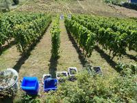 Weinlese in den Pillnitzer Weinbergen
