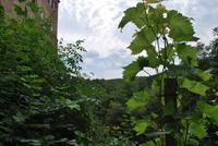 Anstoßen mit Blick auf den kleinen Weinhang der Burg Kriebstein.