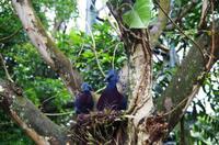 Kuala Lumpur Bird & Orchideen Park - Fächertaube