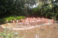 Flamingos im Jurong Bird Park