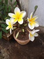 035 Frangipani - Tempelblumen