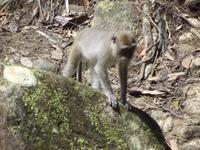 Affe im Khao Sok-Nationalpark