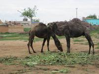 Harran ist fast in der Wüste - also Kamele