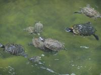 Im Festungsgraben tummeln sich die Wasserschildkröten