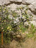 einer von vielen Äpfelbäumen