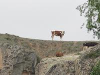 Kühe auf den Felsen von Ayazini