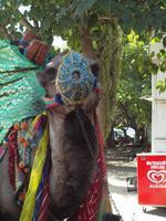 Kamel vor Ephesus