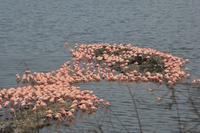 Flamingos am momella see