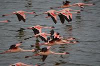 fliegende flamingos momella see