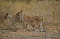 Löwen jungtiere Tarangire NP