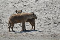 Ngorongoro - Hyäne
