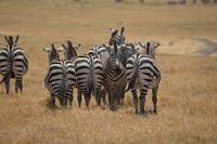 Ngorongoro - zebra 2