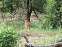 Tarangire Nationalpark - Impalla