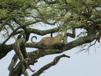 Serengeti - Leopard im Baum und seine Voratskammer