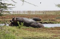 Hippo-Pool im Lake Manyara Nationalpark