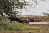 Hippo-Pool im Lake Manyara Nationalpark