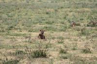 Hyäne und Schakal im Ngorongoro Crater