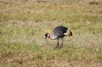 Kronenkraniche im Ngorongoro Crater