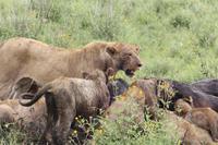 Löwen-Familie beim Festmahl in der Serengeti