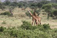 Giraffen bei der Brunft