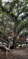 Maui - Inselrundfahrt - Banyan Tree