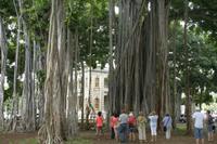Honolulu -  ein Banyanbaum