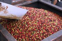 Big Island - Kaffeeplantage Royal Kona
